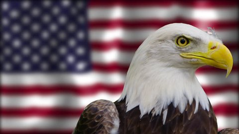 [Bald Eagle Staring at the Camera in front of American Flag]Bald Eagle Staring at the Camera in front of American Flag
