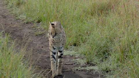 Serval (Leptailurus serval) male cheeky looking around for prey and walking on road, towards camera very close. high angle