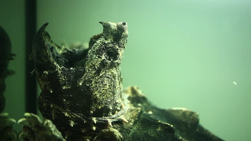 Header of Alligator Snapping Turtle