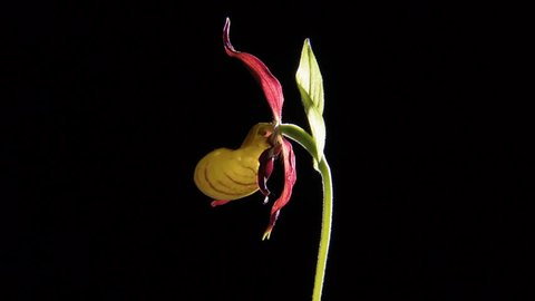 MS Lady slipper orchid (Cypripedioideae) / Wiltshire, England, UK (May, 2012 - Wiltshire, England, UK)