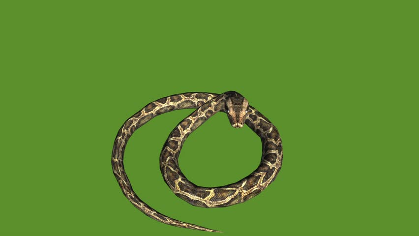 Snake & jungle carpet python attack,sliding decorative non venomous,wild animal herpetology background. cg_01924