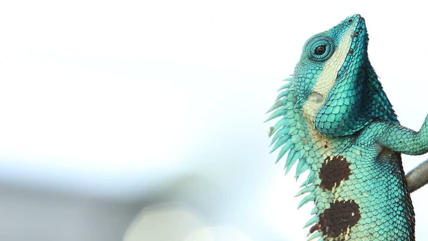 Beautiful tree lizard
