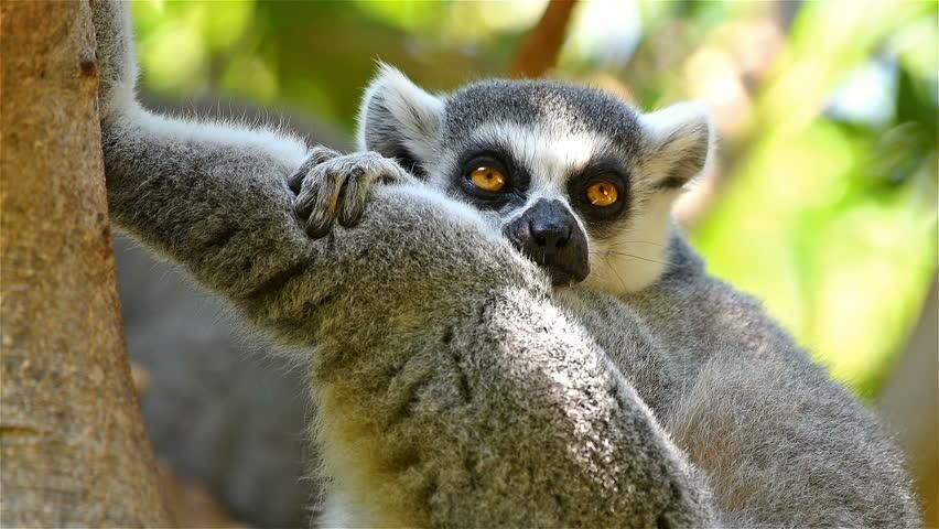 Lemur Portrait On Madagascar Island
