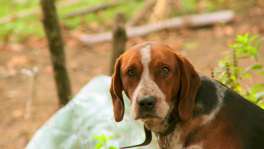 Brown hunting dog