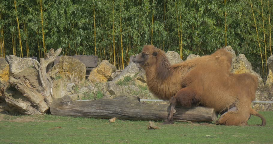 a Lone Camel Rests on a Log in the Large Clearing. Camel Simulates Sexual Intercourse on a Log.