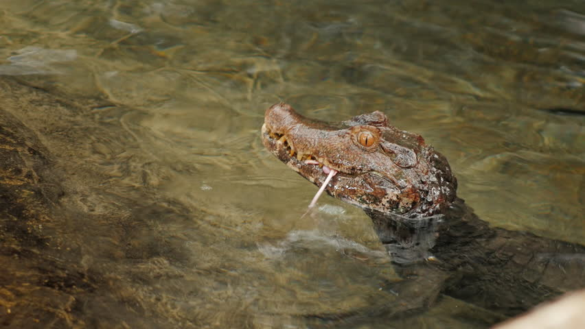 Dwarf Caiman eating a mouse.