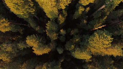 Aerial view, looking down on the redwoods in northern California.