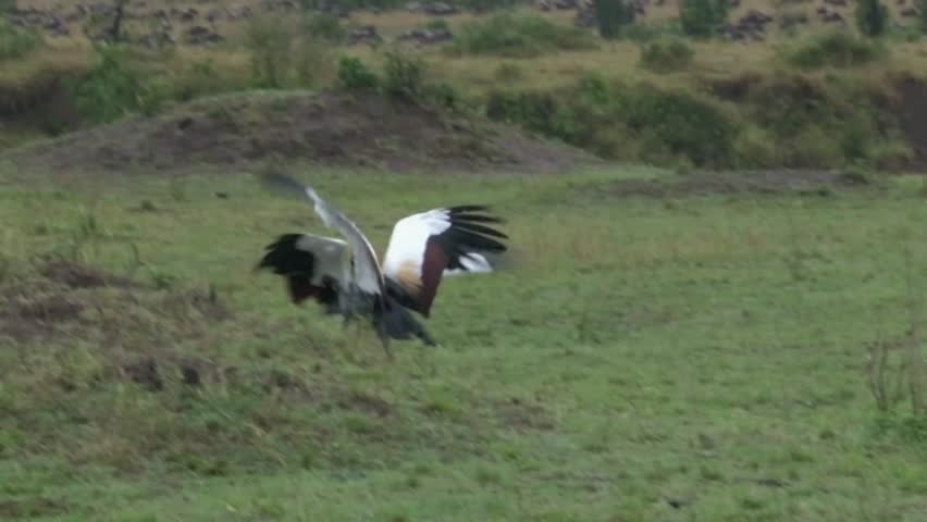 Crowned-Cranes displaying