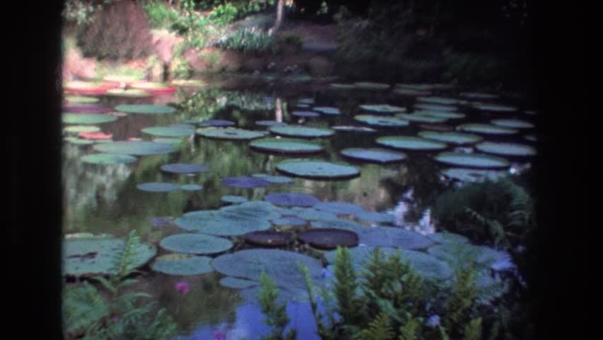 HONOLULU HAWAII 1977: a beautiful pond with dozens of large lily pads floating on top | Shutterstock HD Video #21613135