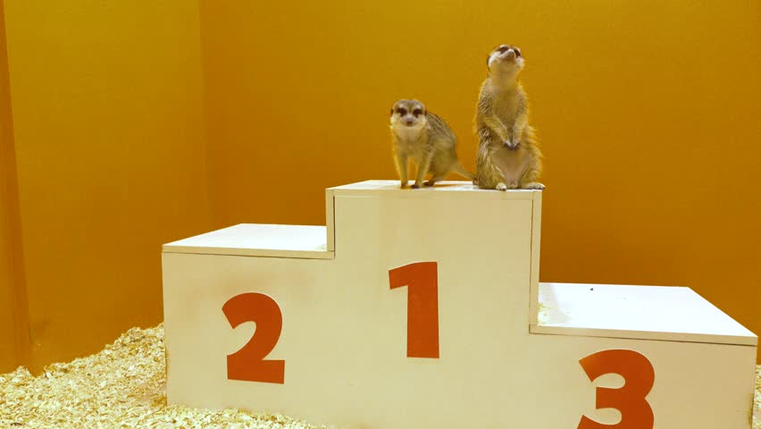 Two funny meercats sharing first place at victory podium. Leader, victory, equality and winning concepts. 4K video