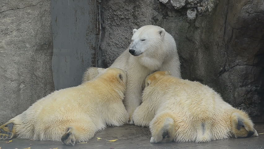 mother polar bear is brest feeding her adult babies 1 year old bears