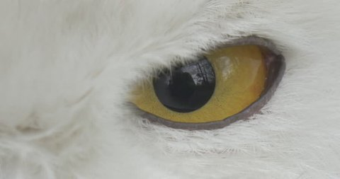 Polar Owl is Narrowing Its Eyes, Yellow Eye Close Up. Bird is Living in the Aviary of the Zoo or in a Wilderness, Looking For Prey. White Feathers on Bird's Head. Excursion to the Zoo, Biology and