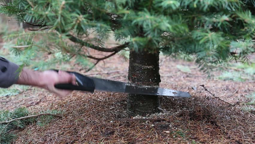 Cutting down a Christmas tree. Using saw on tree trunk. Sawing a live Christmas tree at a u-cut tree farm.