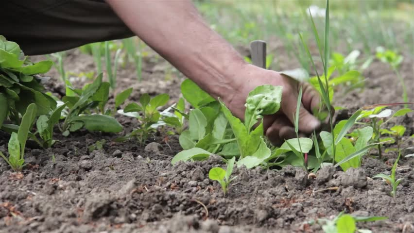 gardener pulling weeds grown in carrots planted in spring in his garden behind the house