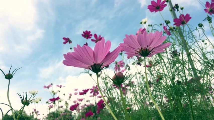 Pink cosmos flowers #22130311