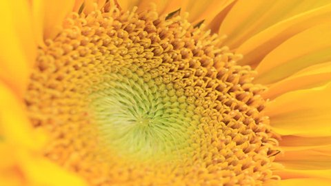 Yellow Sunflower Blooming Flower Time Lapse Close up