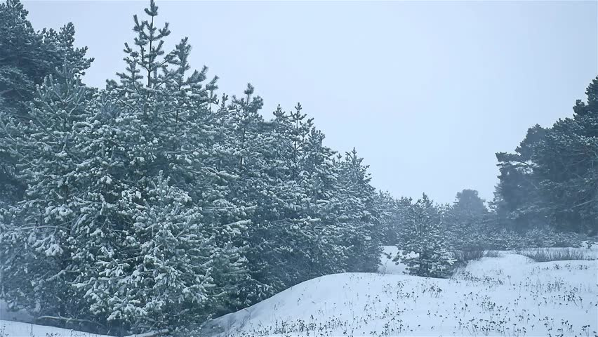 Snowstorm The Woods Snowing Nature Winter, Blizzard Christmas Tree And Pine  Forest Landscape   HD