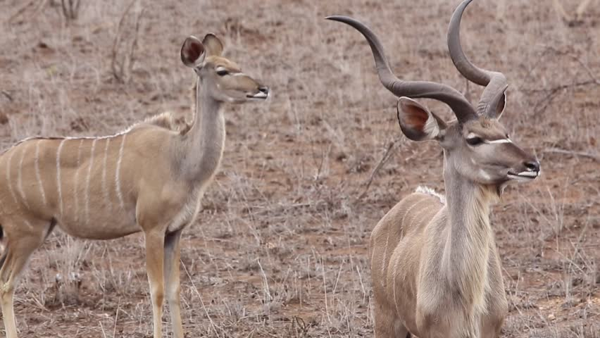 [kudu male and female in africa]male and female kudu in dry plains