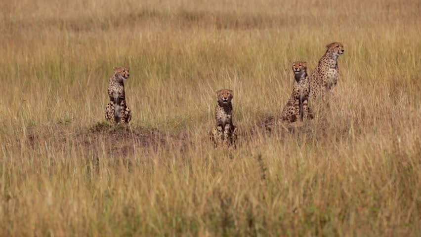 Four cheetahs looking out for a prey and then leave