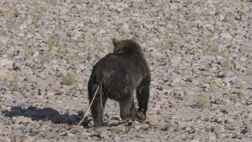 Grizzly Bear with Large Tape Worm Walking