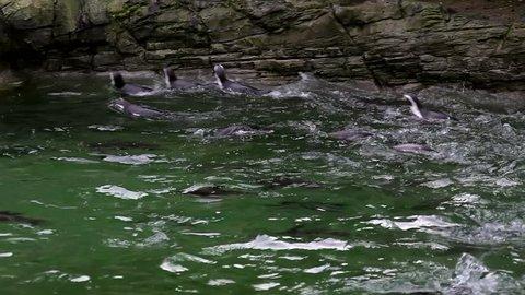 Humboldt Penguins Swimming; Flamingo Land Zoo North Yorkshire