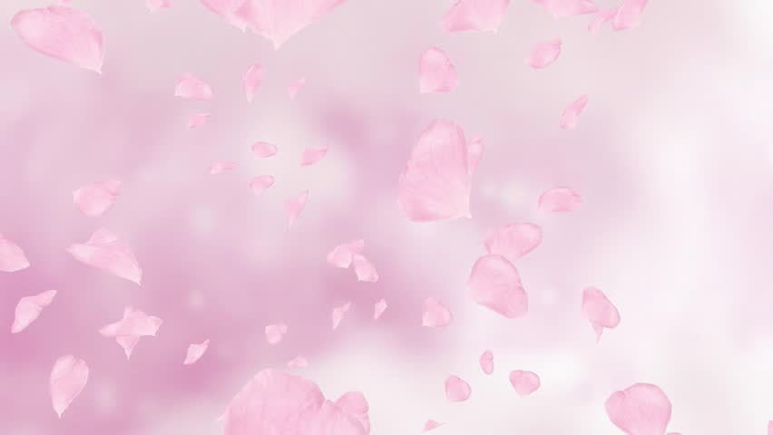 Falling Pink Rose Petals Or Cherry Tree Blossoms Spring Slow Motion HD Animation Close
