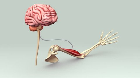 Brain signals to muscles