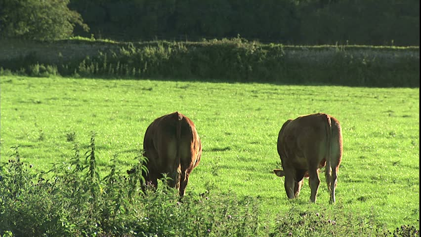 herd of grazing cattle in late afternoon light in Irish fields with stone and hedge fences