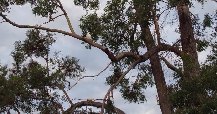 Cockatoos in a tree | Shutterstock HD Video #22713934