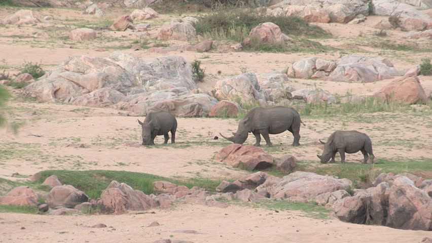 Three white rhino eating very short patchy green grass with sand and rocks around them. - HD stock footage clip