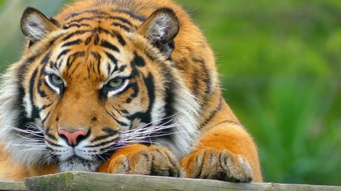 Royal Bengal tiger (Panthera tigris), is most numerous tiger subspecies. It is national animal of both India and Bangladesh.