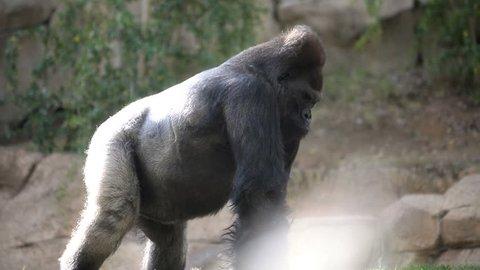 large silverback gorilla walking slowly