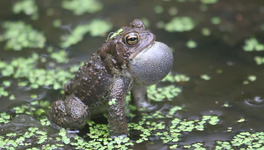 Male American Toad (Bufo americanus) performing a mating call during mating season
