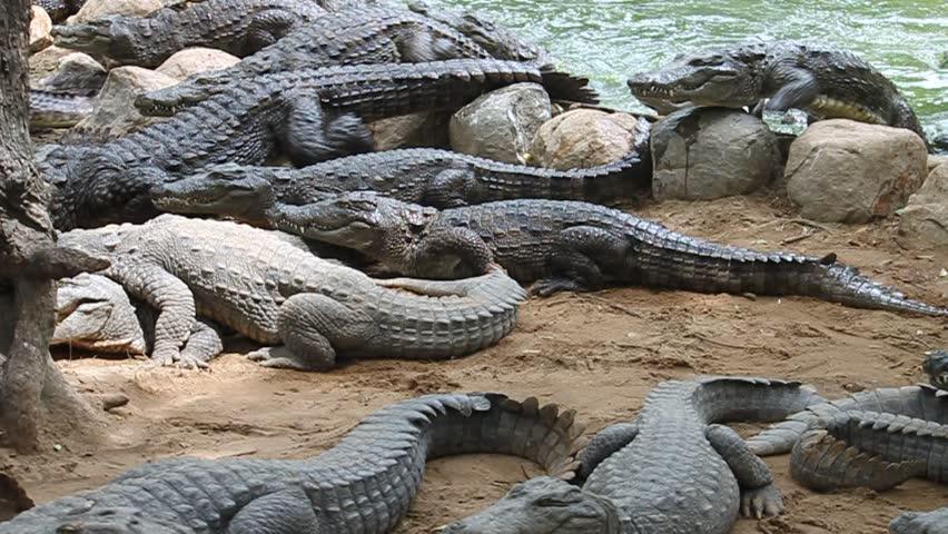 Feeding of crocodiles