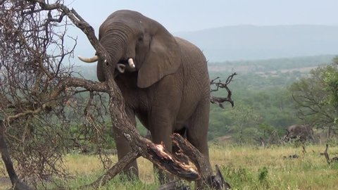 African Elephant lifts, breaks and rolls over dead tree.