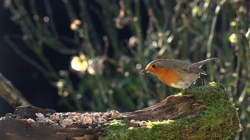 Tit, Robin in winter eating seeds and fat in a garden