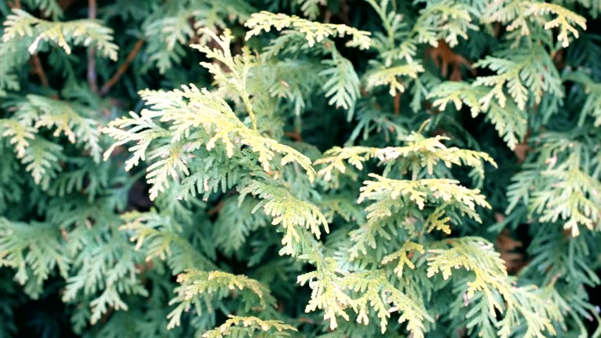 Background of green thuja branches gently stirred by wind #22978510