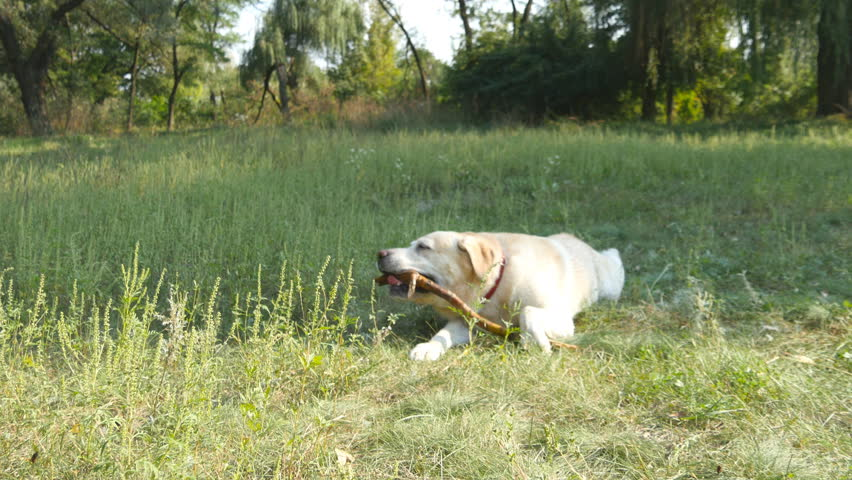Labrador Or Golden Retriever Eating Wooden Stick Outdoor Animal Chew And Biting A At