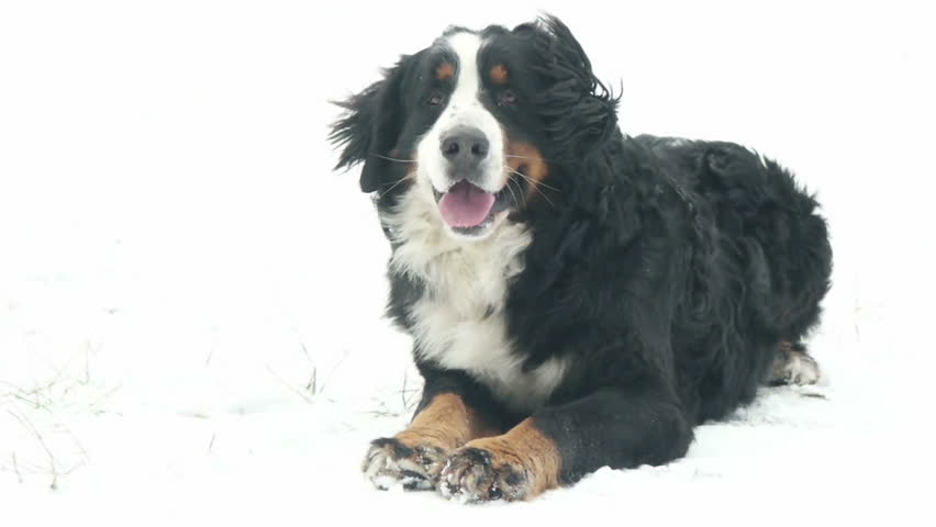Dog lying on snow | Shutterstock HD Video #23043124