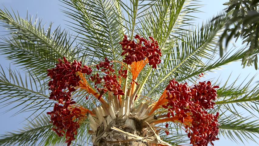Picture Of Date Fruit Tree