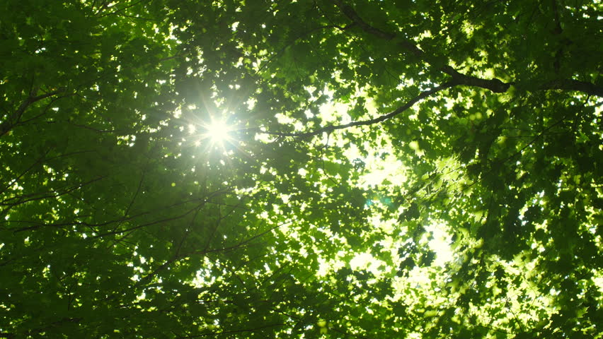 Leaves of summer forest with sun. Looking up. Green deciduous, maple trees. Ontario, Canada.