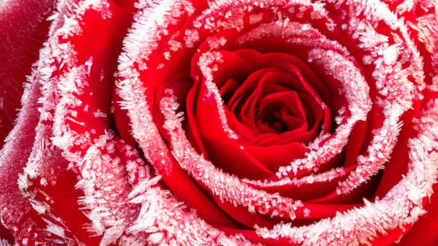 Timelapse footage: red rose with hoarfrost closeup, the flower is blossoming while the ice crystals melt #23136904