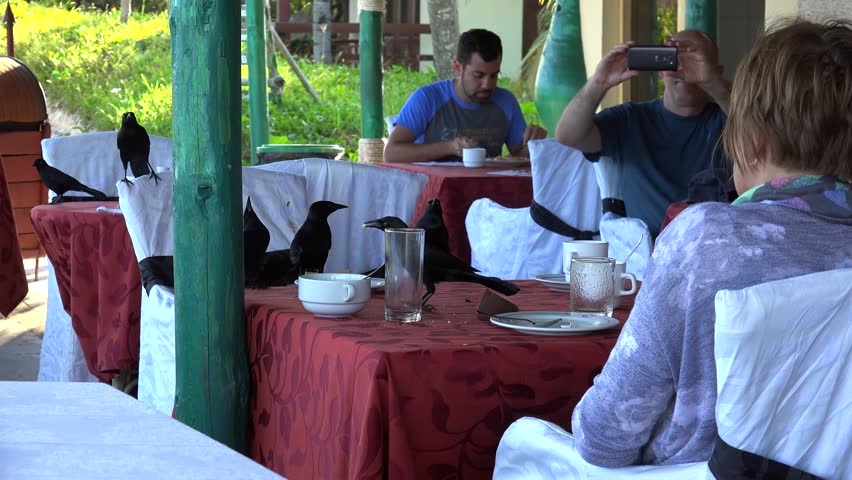 CUBA, - NOVEMBER 16: Flock of birds (Greater Antillean grackle) is stealing food from the restaurant table. November 16, 2016 in Cayo Levisa, Cuba