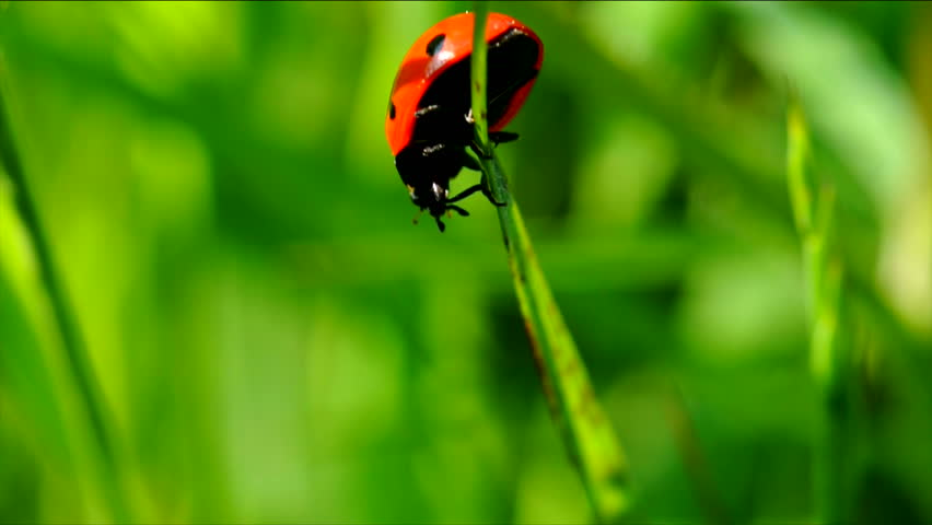 Slow motion ladybug on a blade of grass.