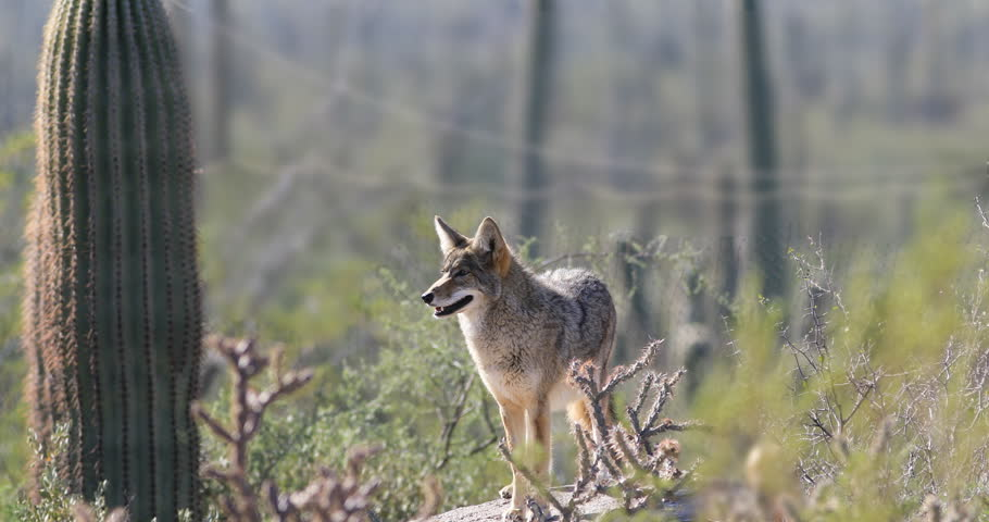 4K UltraHD Watchful Coyote, anis latrans in the Sonoran Desert