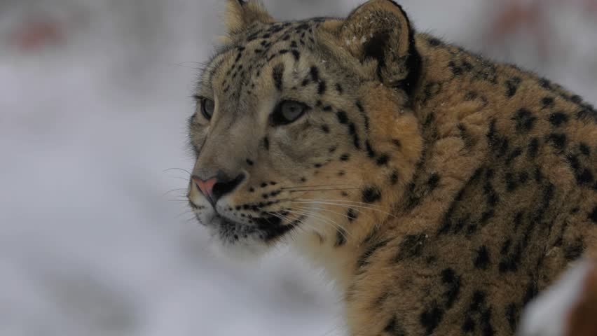 Snow Leopard, Winter, Snow
