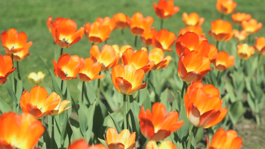 A lot of colourful bright of growing tulips outdoors. Close up - HD stock video clip