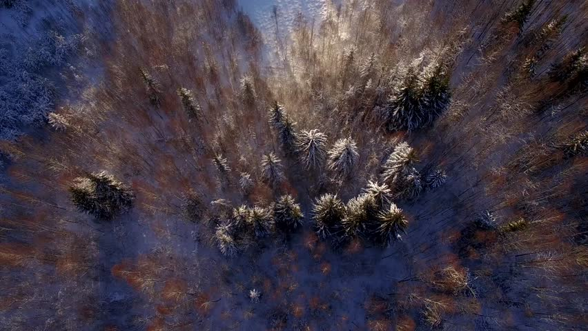 Flying over winter forest trees sunny weather top view 4k. Aerial vertical flight above snow cover wild woods with sun light shining beams. Global warming wilderness taiga bird eye perspective