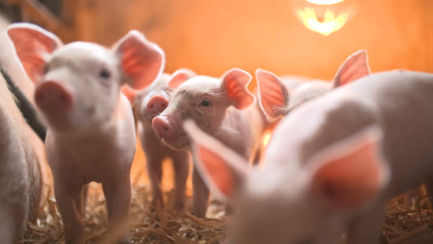 Pigs on livestock farm. Pig farming