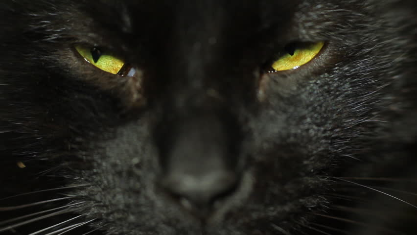 Black cat eyes squinting. Close up adult male black cat looking at camera.